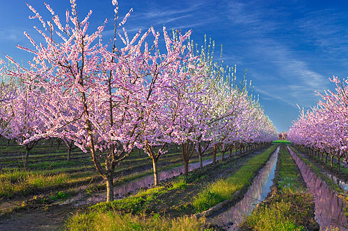 Fun fact: the peach blossom is the Delaware state flower.